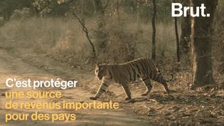 Pourquoi protéger les tigres d'Asie permettrait de protéger l'écosystème (BRUT)