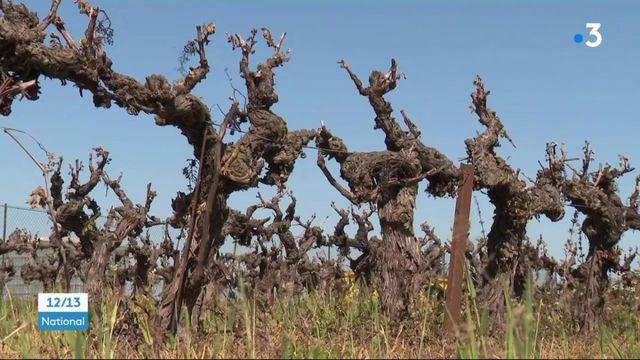 des vignobles entiers de Camargue frappés par le gel