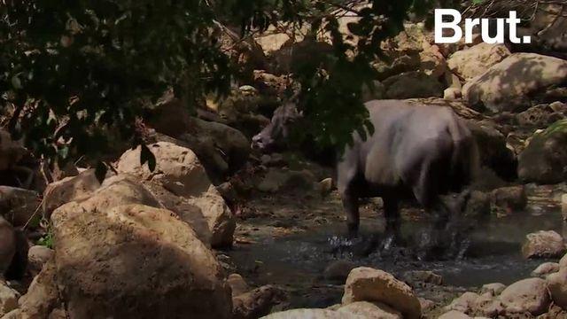 Il peut mesurer jusqu'à trois mètres de long et c'est un prédateur redoutable. Zoom sur le dragon de Komodo.