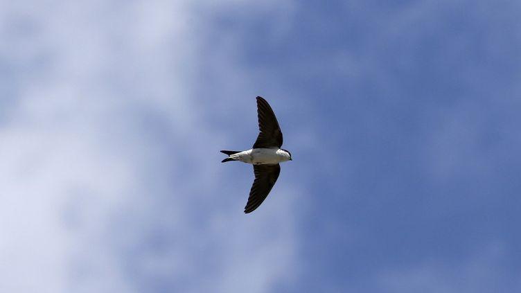 Une hirondelle vole au-dessus de la Corse, le 27 mai 2021. (PASCAL POCHARD-CASABIANCA / AFP)