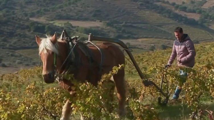 Labourer les champs dans un total respect de l'environnement. Pour cela, il faut revenir à une méthode ancienne : le labour à cheval. (France 3)