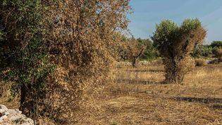 Des arbres contaminés par la bactérie Xylella Fastidiosa, près de Lecce,dans le sud de l'Italie, le 25 juillet 2015. (  MAXPPP)