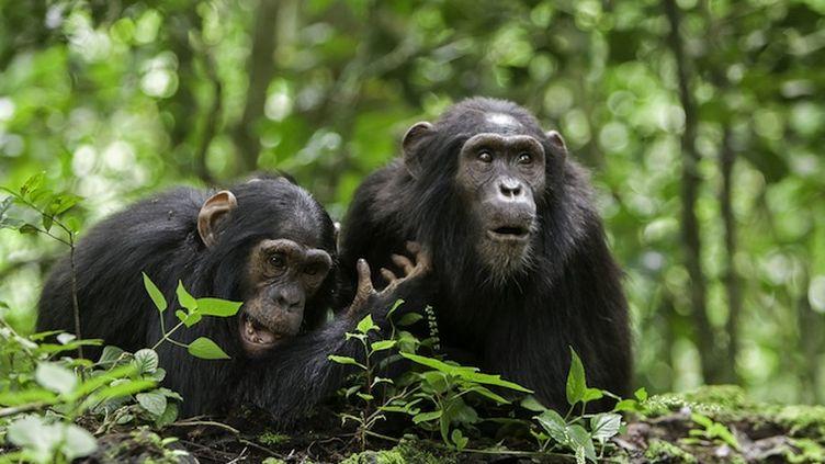 Aurions-nous un langage commun avec nos cousins les grands singes ?