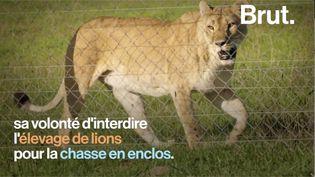 VIDEO. L'Afrique du Sud veut interdir les élevages de lions (BRUT)