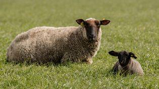 Un mouton et un agneau broutent dans un pâturage près du Mont-Saint-Michel, le 28 mars 2020. Photo d'illustration. (SAMEER AL-DOUMY / AFP)