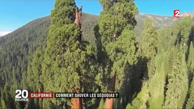 Californie : comment sauver les séquoias ?
