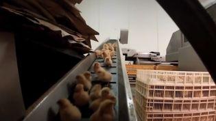 Des poussins dans un abattoir. (FRANCEINFO)