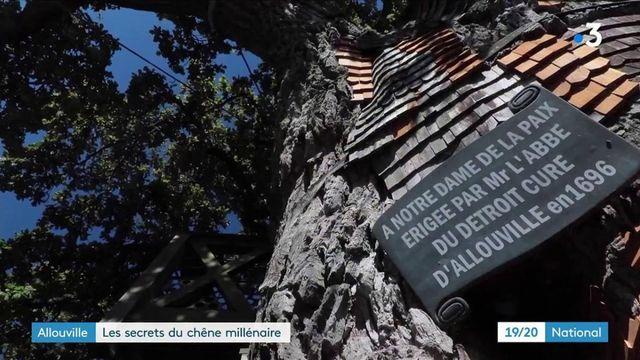 Seine-Maritime : les secrets du chêne millénaire d'Allouville-Bellefosse