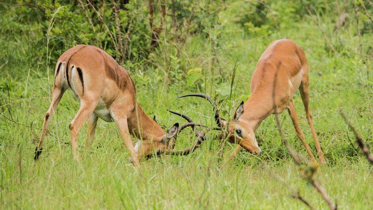 Le combat de deux antilopes dans le Parc national Kruger, en Afrique du Sud (photo prise le 12 décembre 2017). (ROSANNA U / IMAGE SOURCE)