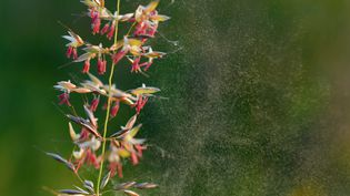Entre 15 et 20% desFrançais âgés de15 à 70 anssont concernés par des allergies aux pollens. (PATRICK PLEUL / DPA-ZENTRALBILD / AFP)