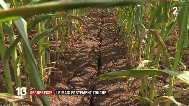 Canicule : les cultures de maïs durement touchées par la sécheresse