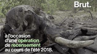 VIDEO. Près de 100 éléphants tués par des balles de gros calibre au Botswana (BRUT)