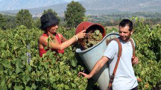 Des vendangeurs en pleine action à Rivesaltes, dans les Pyrénées-Orientales, le 9 août 2012. (RAYMOND ROIG / AFP)
