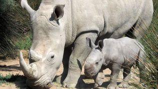 L'espèce du rhinocérosblanc avait presque disparu d'Afrique australe. Mais ses effectifs ont progressivement augmenté grâce aux efforts notamment du WWF. (RAYMOND ROIG / AFP)