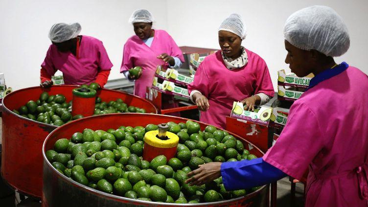 La production d'avocats sud-africains est estimée à 125.000 tonnes pour l'année 2018, en hausse de 8.000 tonnes par rapport à 2017. 50% de la récolte seront exportés. La culture de l'avocat en Afrique du Sud s'étend sur 17.000 hectares, répartis sur les provinces de Limpopo et de Mpumalanga, à 82 km au nord de la frontière avec le Swaziland. Le secteur emploie près de 8.200 travailleurs permanents et 7.300 saisonniers. (Siphiwe SIBEKO / REUTERS)