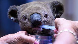 Un koala, blessé mais rescapé d'un feu de forêt, soigné à l'hôpital spécialisé de Port Macquarie, le 2 novembre 2019 en Australie. (SAEED KHAN / AFP)