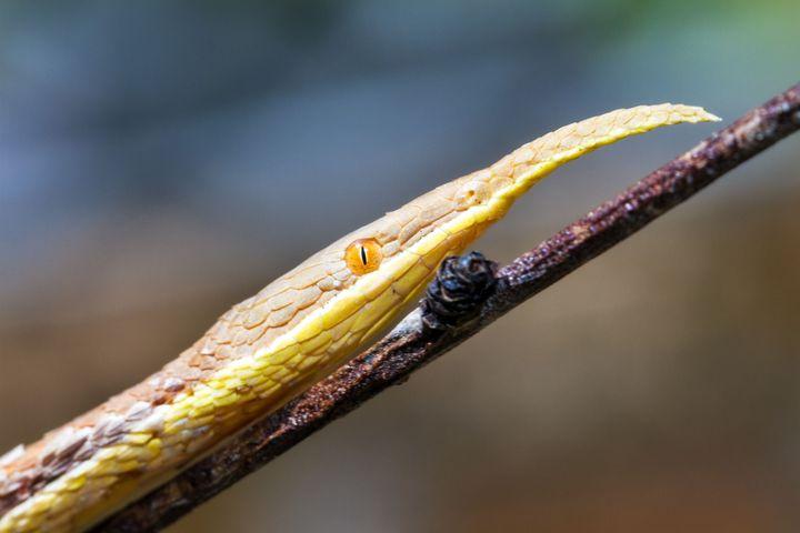 Le serpent feuille, dont le nez joue un rôle dans la camouflage et l'attraction des proies. (DENNISVDW / ISTOCKPHOTO)