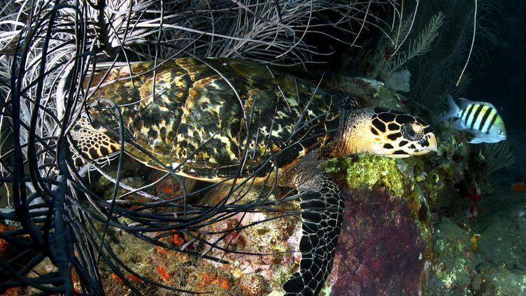 La faune de la Martinique, ici une tortue imbriquée, est menacée démontre une nouvelle étude. (RUOPPOLO GUILLAUME / MAXPPP)