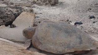 Au Cap-Vert, une association lutte contre la pollution des plages afin que les tortues puissent y pondre leurs œufs. (FRANCE 2)