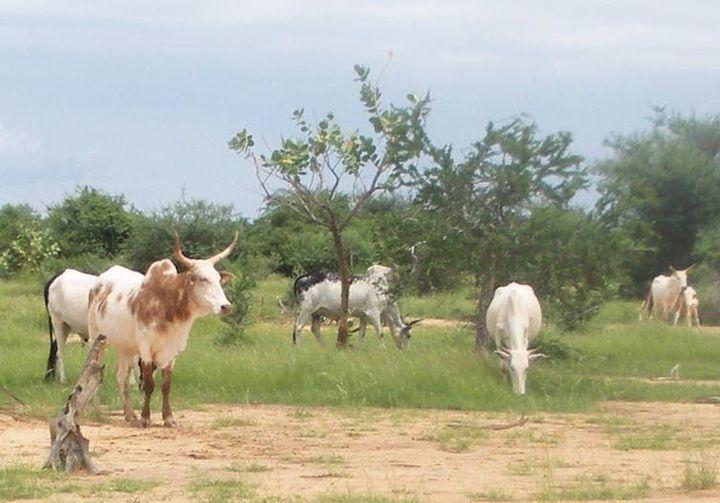 Pâture d'un troupeau de zébus dans le sud du Gourma (Burkina Faso) lors de la saison des pluies. (Pierre Hiernaux)