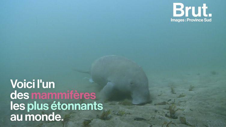 VIDEO. En Nouvelle-Calédonie, le combat pour sauver les dugongs de l'extinction (BRUT)