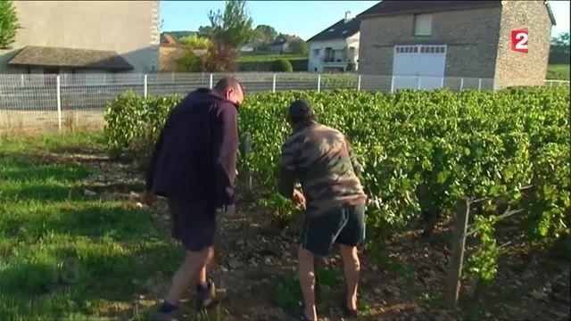 Vols de raisins : mobilisation des vignerons