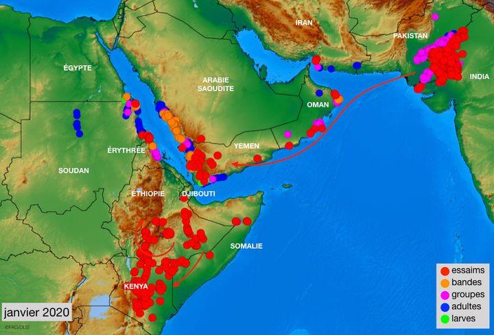 La situation des essaims, en janvier 2020, selon la FAO. (FAO)