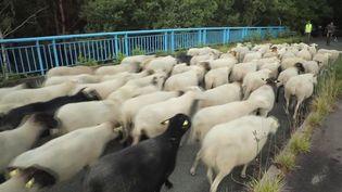 Chaque année, des troupeaux passent l'été à Fontainebleau, où ils entretiennent les lieux tout en préservant la biodiversité. Moutons et brebis ont quitté les lieux dimanche 19 septembre, pour prendre leurs quartiers d'hiver.  (CAPTURE ECRAN FRANCE 3)