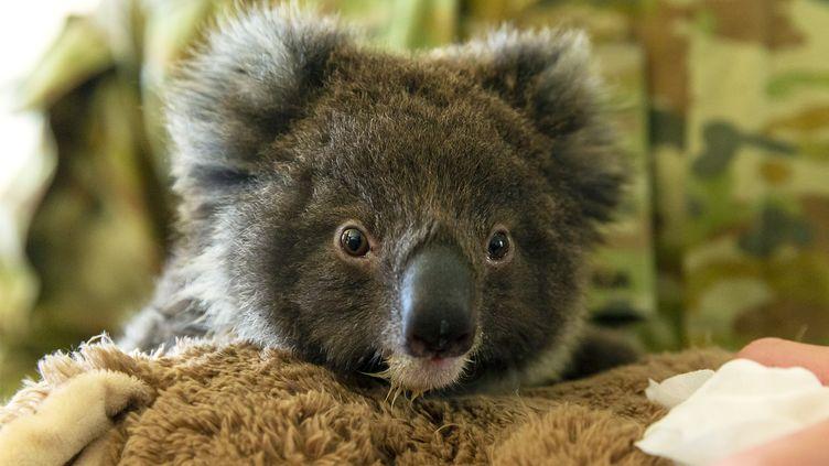 Un bébé koala recueilli le 7 janvier 2020 auKangaroo Island Wildlife Park à Kingscote, en Australie. (TRISTAN KENNEDY / AFP PHOTO / AUSTRALIAN DEPARTMENT OF DEFENCE)