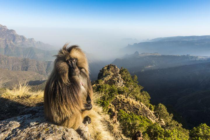 Un babouin de Gelada au bord d'une falaise. L'espèce est endémique de la région des monts Simien en Ethiopie. (MICHAEL RUNKEL / ROBERT HARDING PREMIUM)