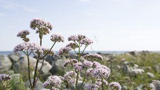 Valeriana officinalis (ZENSHUI/SIGRID OLSSON / PHOTOALTO / GETTY IMAGES)