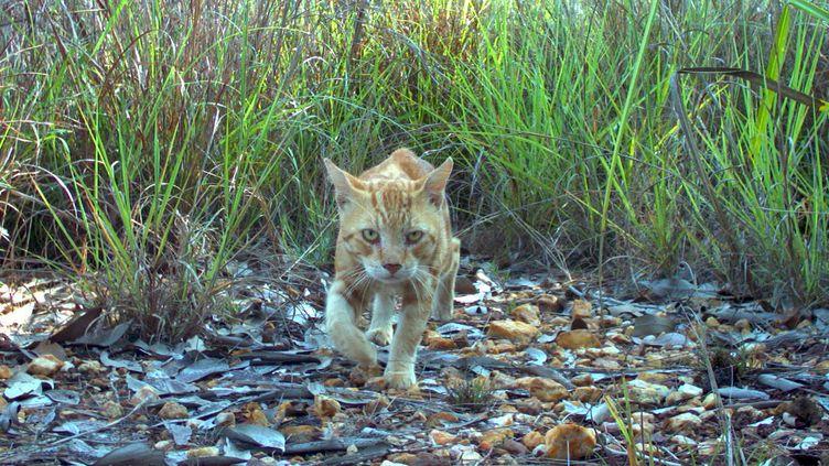 Un chat sauvage, photographié dans le nord de l'Australie en novembre 2010. (HO / CHARLES DARWIN UNIVERSITY)