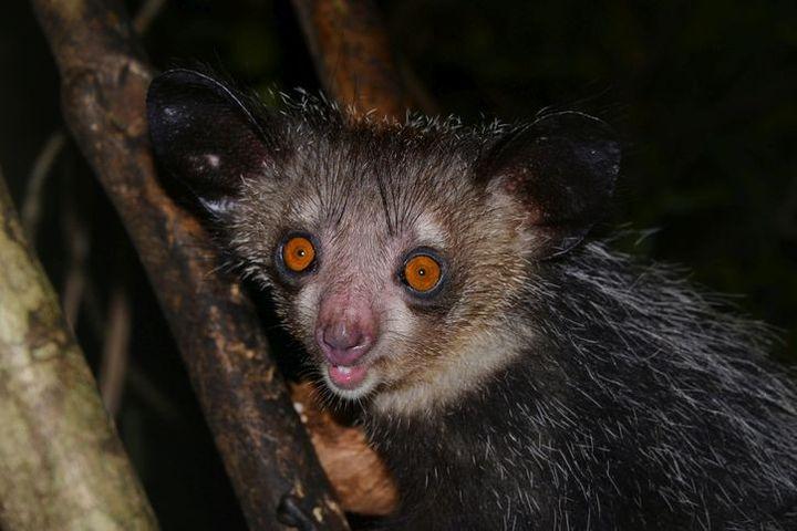 Le lémurien de Madagascar est un mélange de chauve-souris, de rongeur et d'écureuil. Il est aussi appelé aye-aye. (THORSTEN NEGRO / IMAGEBROKER RF)