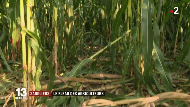 Sangliers : le fléau des agriculteurs
