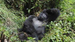 """Un gorille de l'espèce """"Gorilla beringei"""" dans leParc national des Volcans (Rwanda), le 26 août 2014. (SUZI ESZTERHAS / MINDEN PICTURES)"""