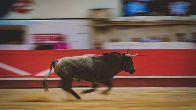Photo d'illustration d'un toro lors de la feria des vendanges, à Nîmes, dans le Gard, en septembre2018. (JEAN CLAUDE AZRIA / MAXPPP)