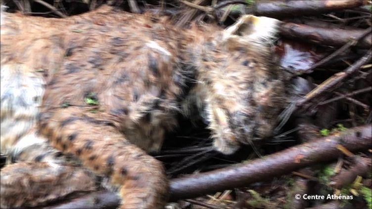 Corps du Lynx retrouvé mort le 30 décembre dernier par une randonneuse dans le Jura (Centre Athénas, 31 décembre 2020)
