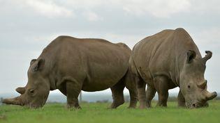 Najin (à gauche) et Fatu (à droite),les deux derniers représentants de la sous-espèce des rhinocéros blanc du Nord, le 20 mars 2018, dans la réserve d'Ol Pejeta àNanyuki, au Kénya. (TONY KARUMBA / AFP)