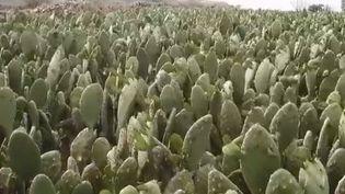 cactus (FRANCE 2)