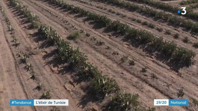 Tunisie : l'huile de figue de Barbarie connaît un franc succès