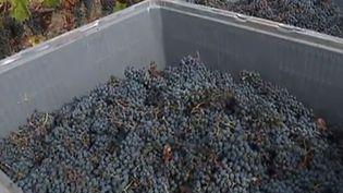 vigne, raisin (franceinfo)