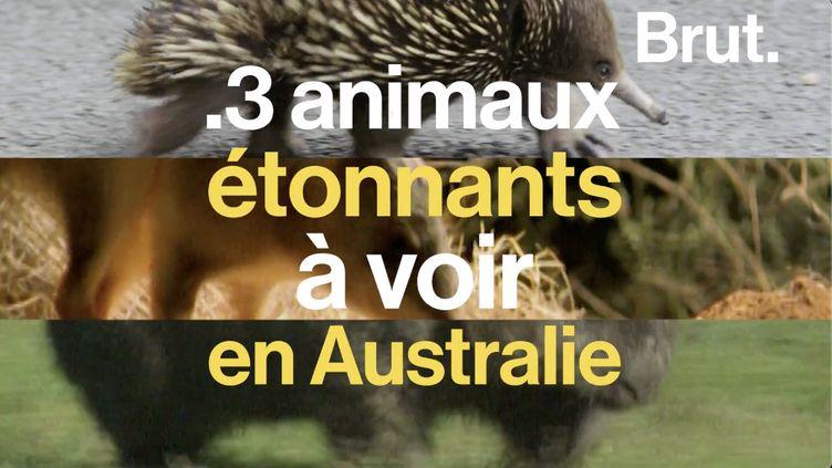 VIDEO. 3 animaux étonnants à voir en Australie (BRUT)
