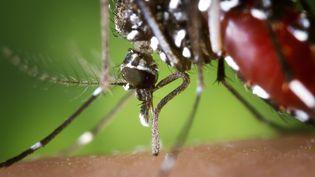 Un moustique tigre, vecteur du chikungunya, le 9 octobre 2014. (CDC / BSIP / AFP)