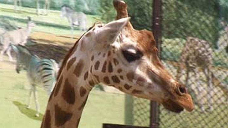 Les 15 girafes resteront à Vincennes (© France)