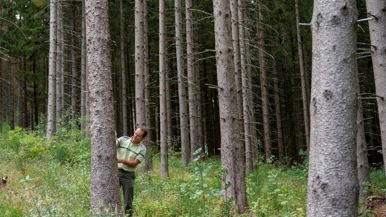 L'adjoint au directeur territorial de l'Office national des forêts (ONF)? Rodolphe Pierrat? examine un épicéa à Ban-Sur-Meurthe-Clefcy (Vosges), le 19 août 2020. (JEAN-CHRISTOPHE VERHAEGEN / AFP)