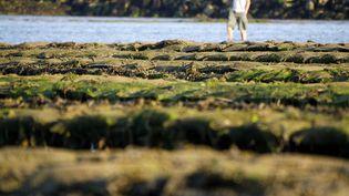 De la Normandie à la Méditerranée, toutes les récoltes d'huitres sont concernées par la bactérie tueuse. (CHARLY TRIBALLEAU / AFP)