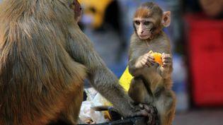 Un macaque mange une orange à New Delhi (Inde), le 31 janvier 2021. (MAYANK MAKHIJA / NURPHOTO)
