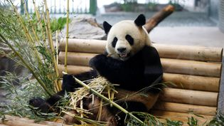 Le panda Jiao Qing découvre son enclos au zoo de Berlin (Allemagne), le 5 juillet 2017. (AXEL SCHMIDT / REUTERS)