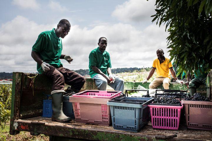 Les employés cueillent des raisins au domaine viticole Assiami sur le plateau de Batéke, dans le sud-est du Gabon, le 22 mai 2019. (CAMILLE MALPAT / AFP)