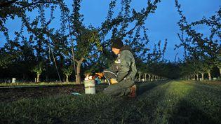Un employé allume une bougie pour lutter contre le gel nocturne des fruits en formation dans une parcelle d'abricotiers, à Sigolsheim (Haut-Rhin). (THIERRY GACHON / MAXPPP)
